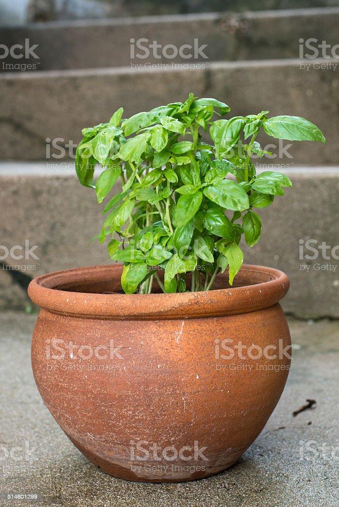 Basil on pot stock photo