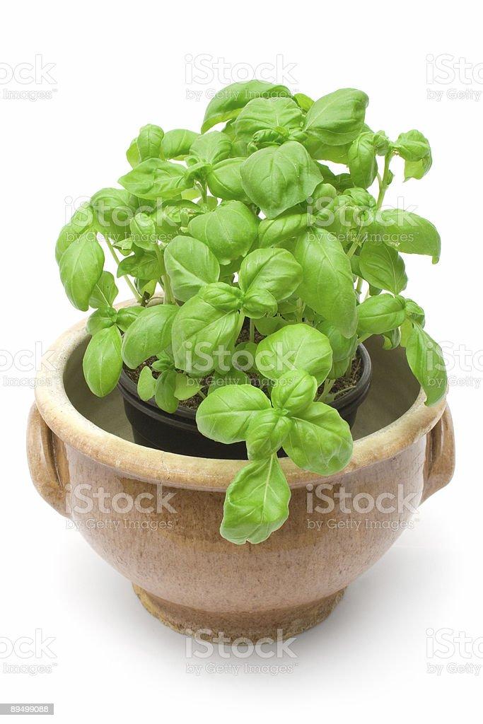 Basil's foto de stock libre de derechos