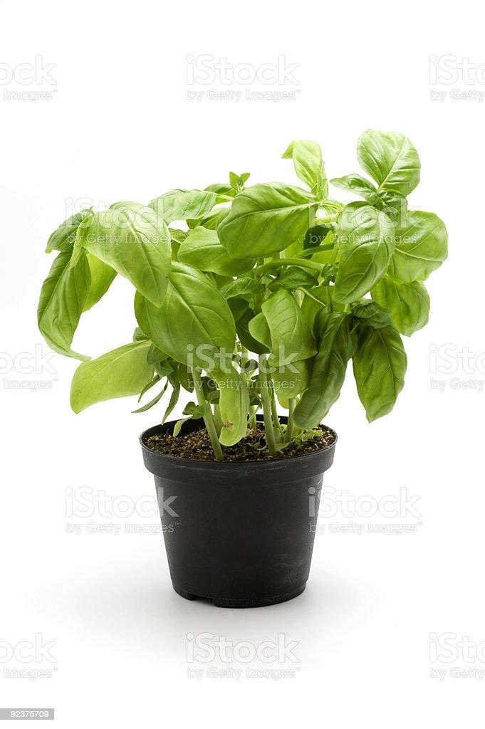 Basil royalty-free stock photo