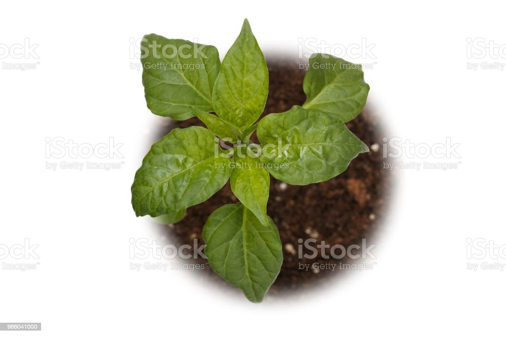 Basil plant viewed from top - Royalty-free Alternative Medicine Stock Photo
