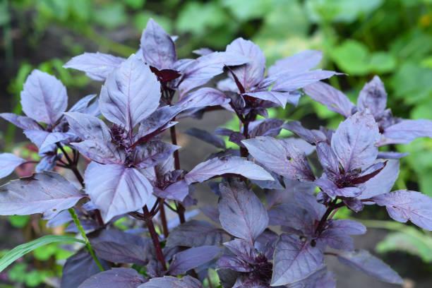 Basilicum: planten, kweken en oogsten van basilicum. Close-up op organische verse purpere basilicumbladeren. foto