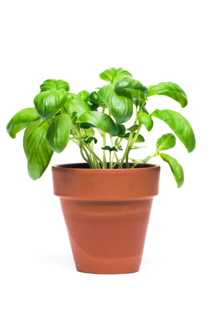 basil potted herb plant cut out isolated on white background - basil stock photos and pictures
