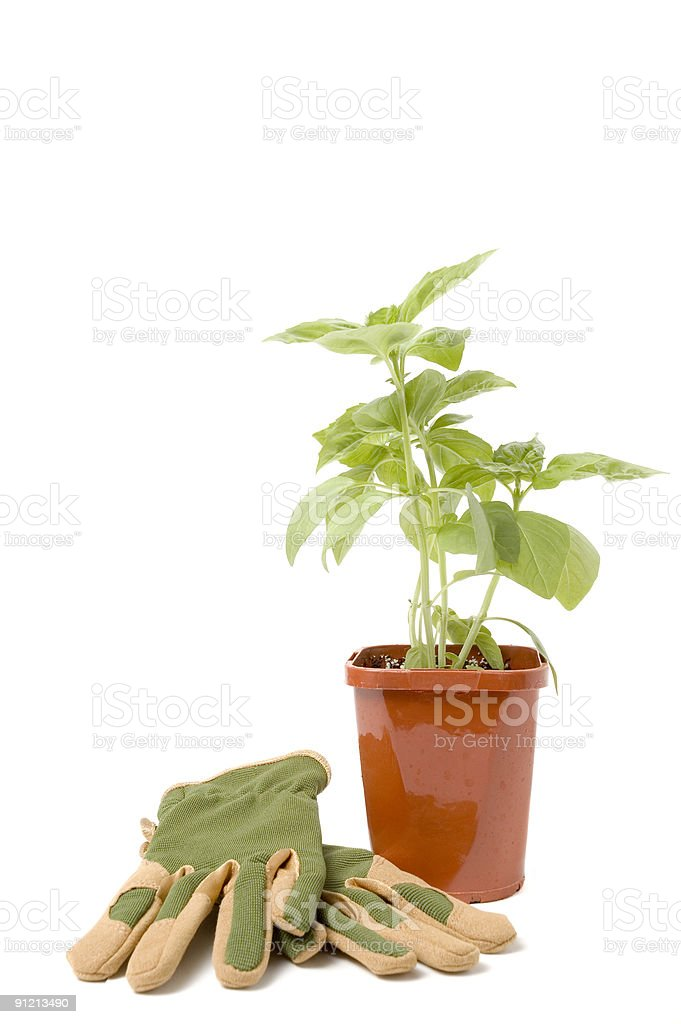 Basil Ready to Plant royalty-free stock photo