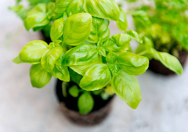 basil seedlings - basil stock photos and pictures
