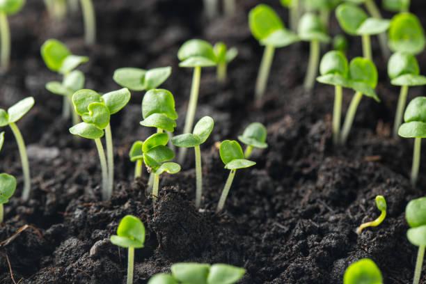 羅勒芽已經在地下發芽。 - 幼苗 個照片及圖片檔