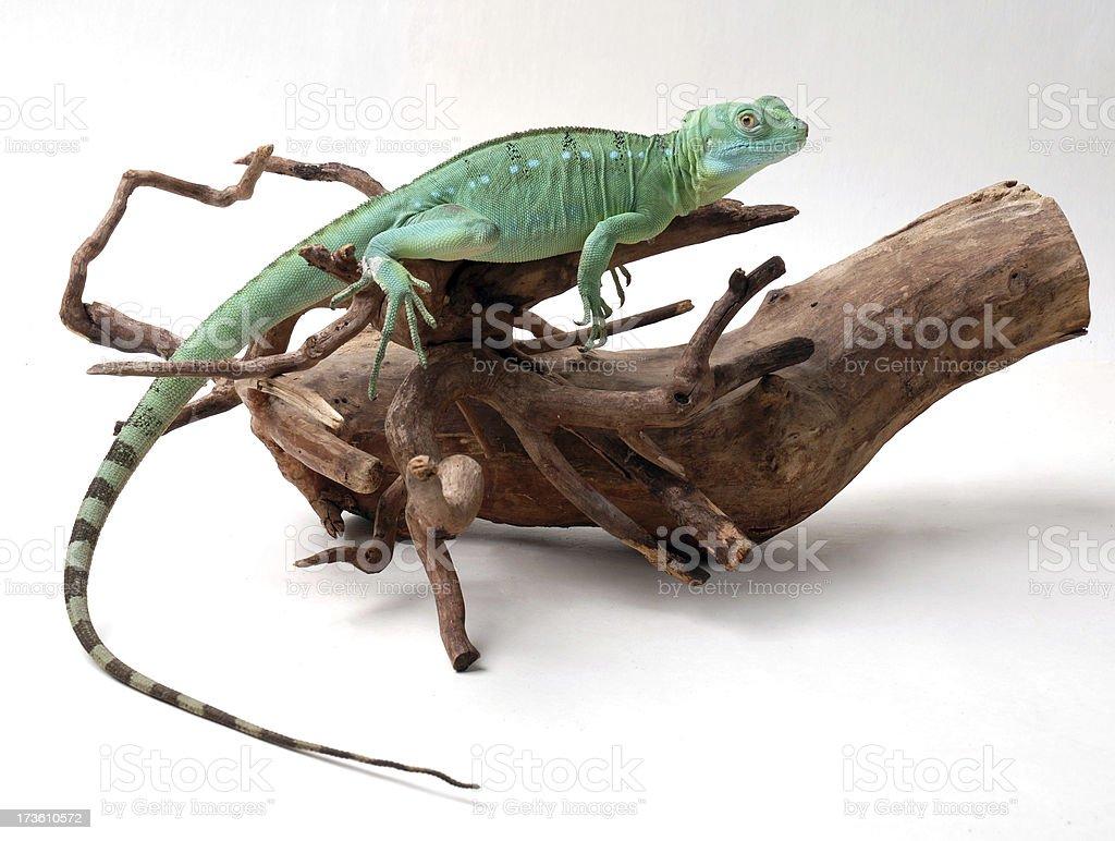 Basiliscus plumifrons female stock photo