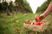 Basket full of apples, Thuringia, Germany