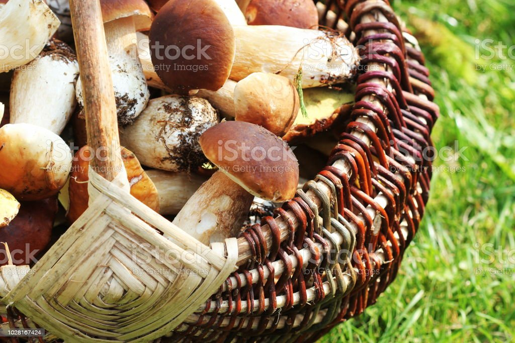 Basket full of fresh boletus mushrooms in forest. Top view stock photo