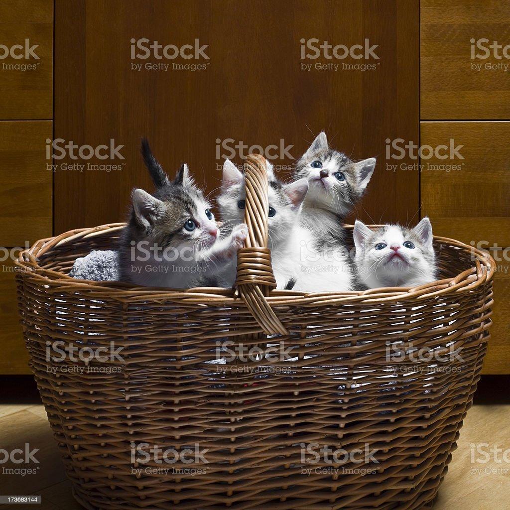 Basket full of Kittens royalty-free stock photo