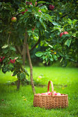 A basket full of apples in the orchard under the apple tree