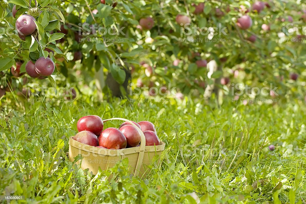 Basket of Apples in Apple Orchard royalty-free stock photo