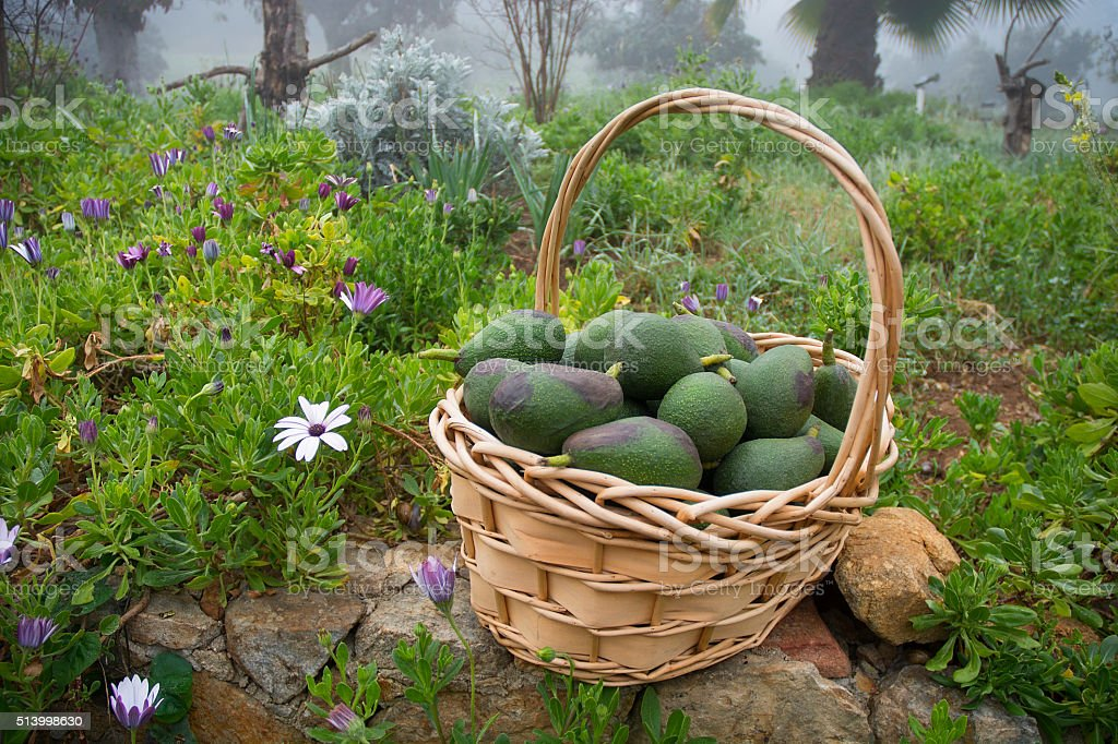Basket Of Avacados In Misty Foggy Flower Garden stock photo