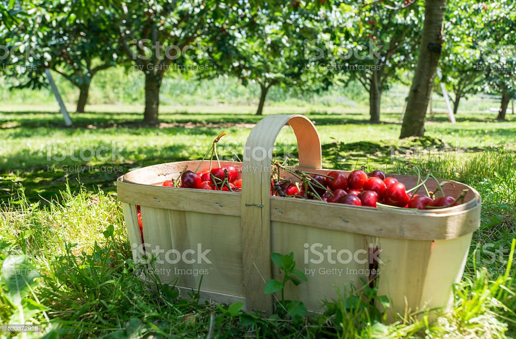 Basket of Cherries in Orchard stock photo