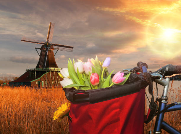 Basket of colorful tulips against Dutch windmills in Zaanse Schans, Amsterdam, Holland stock photo