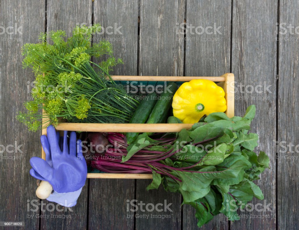 A Basket of Dill, Beets, Cucumbers and a Patty Pan Squash with Lavender Garden Gloves stock photo
