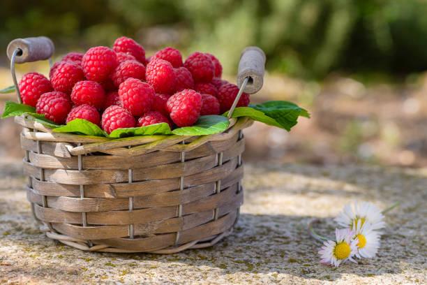 Basket of freshly picked raspberries in the garden. - foto stock