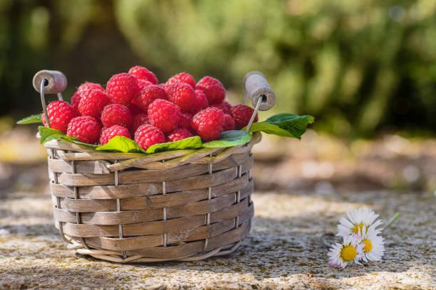Basket of freshly picked raspberries in the garden - foto stock