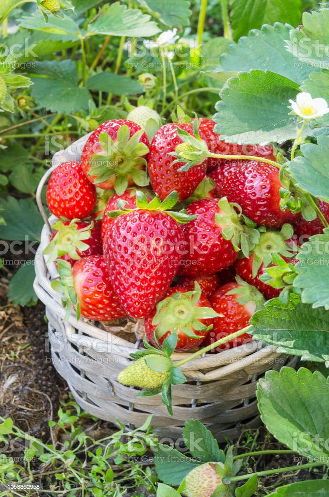 Basket of freshly picked strawberries from the garden - foto stock