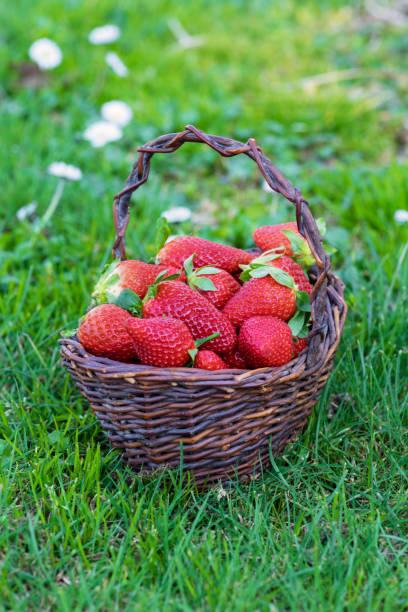 Basket of freshly picked strawberries in a field - foto stock