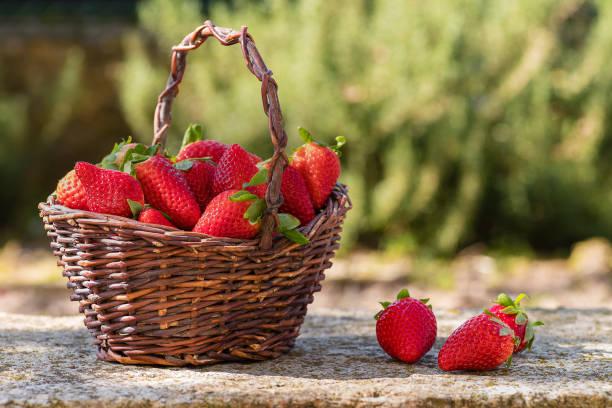 Basket of freshly picked strawberries in the garden - foto stock