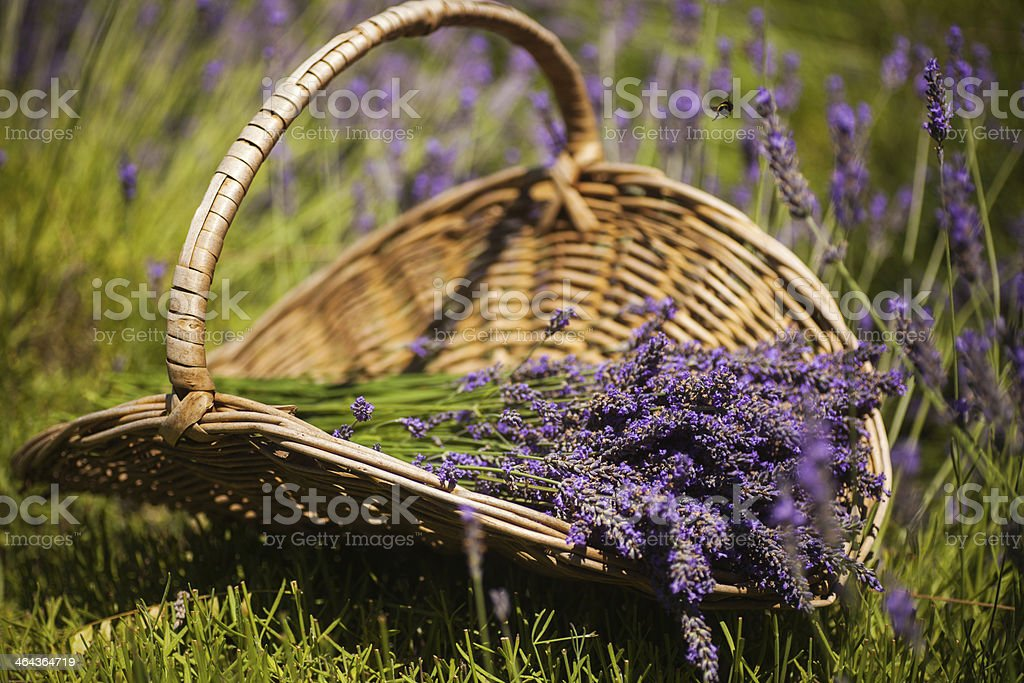 Basket of lavender royalty-free stock photo