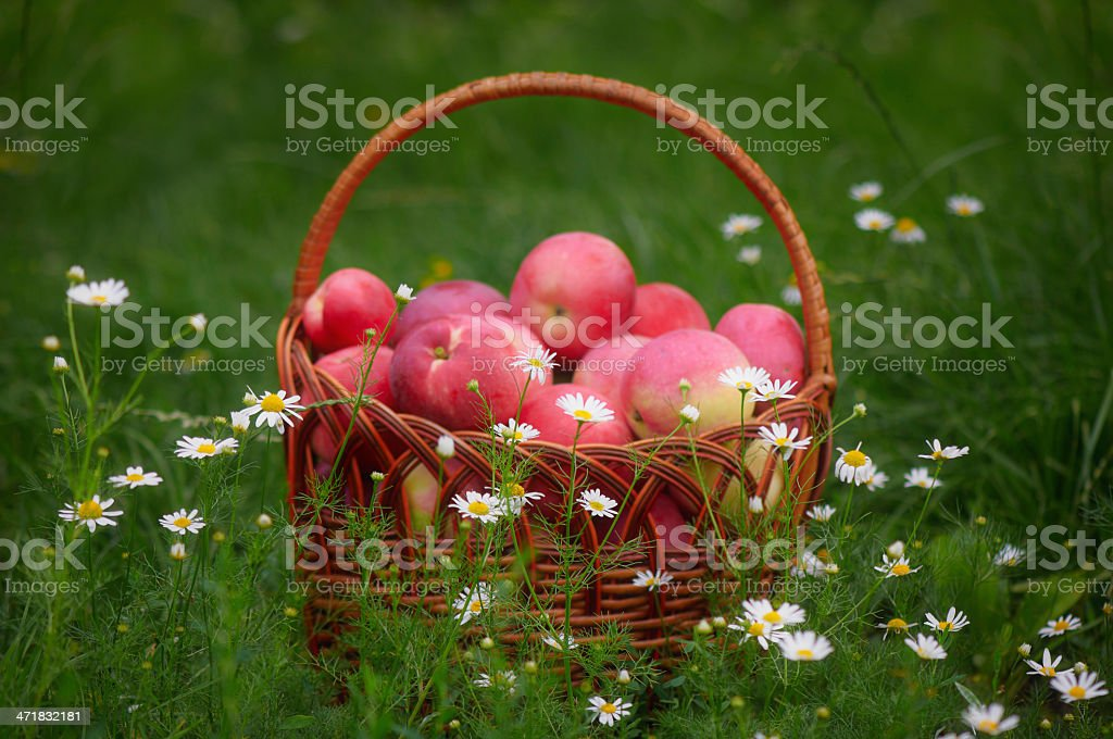Basket of red apples on a green meadow with camomiles royalty-free stock photo
