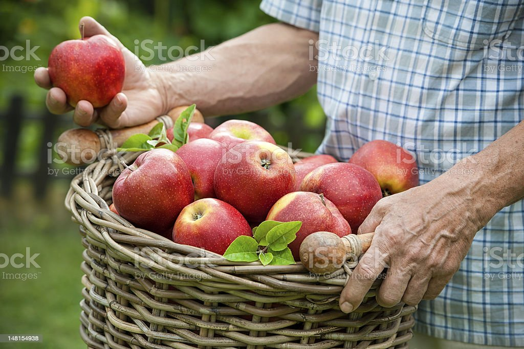 Basket of ripe apples stock photo
