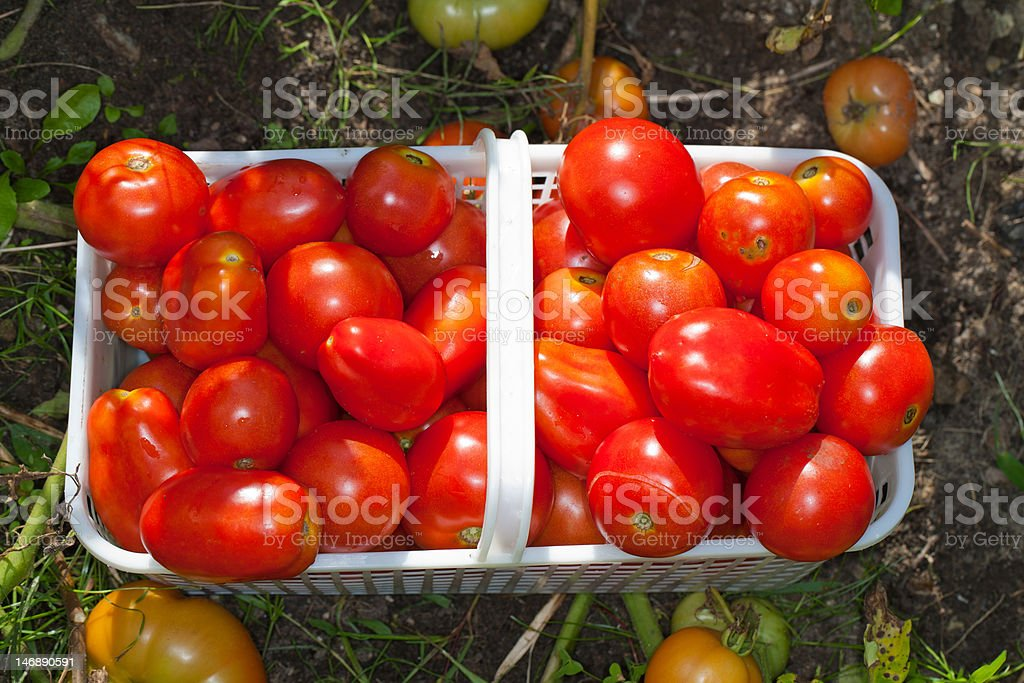 Basket of Ripe Field Tomatoes royalty-free stock photo