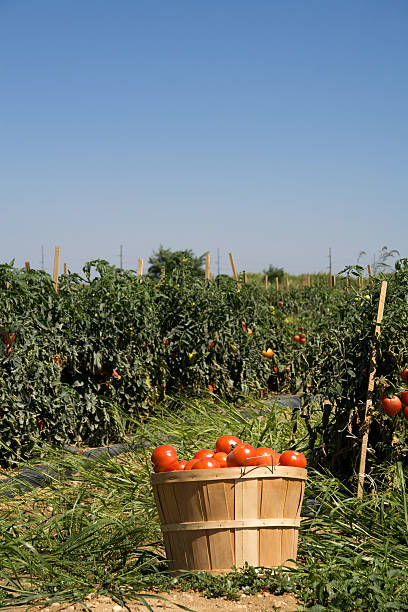 basket of tomatoes on farm - tomato field stock photos and pictures