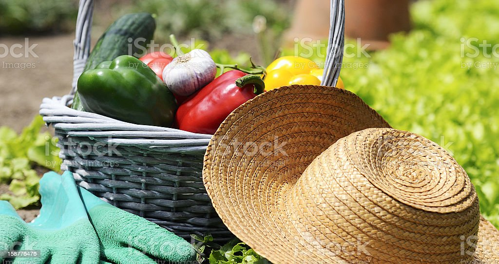 basket of vegetables freshly picked in the garden royalty-free stock photo