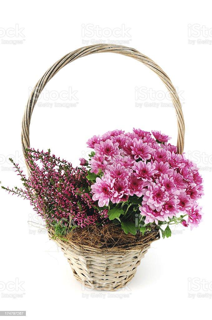 basket pink Mums (Chrysanthemums) with erica flower royalty-free stock photo
