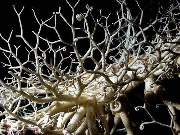 basket star (gorgonocephalus eucnemis) - naturediver stock pictures, royalty-free photos & images