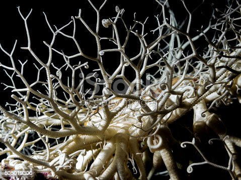 Basket Star Stock Photo & More Pictures of Alien
