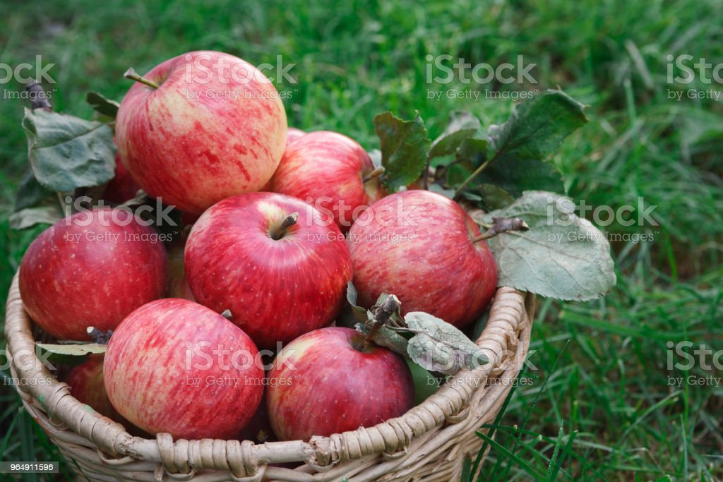 Basket with apples harvest on grass royalty-free stock photo