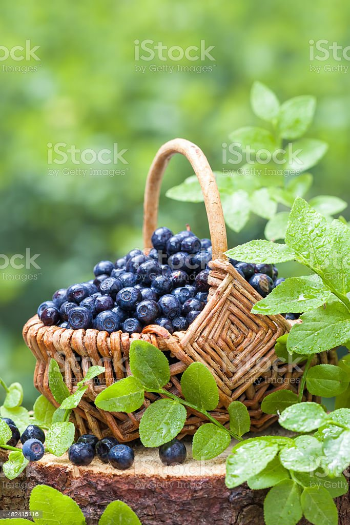 Basket with blueberries in  forest stock photo