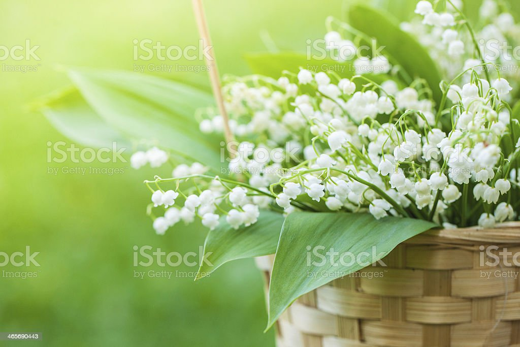Basket with bouquet of lilly-of-the-valley in - Royalty-free Backgrounds Stock Photo