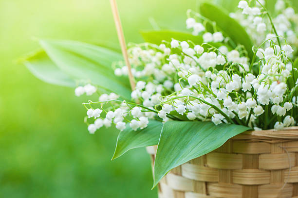 Basket with bouquet of lilly-of-the-valley in stock photo