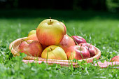 Basket with farmer apples on green grass background