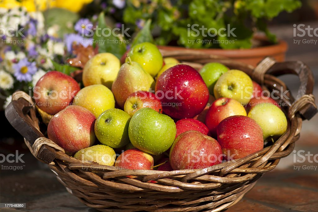 Basket with fresh apples after the harvest stock photo