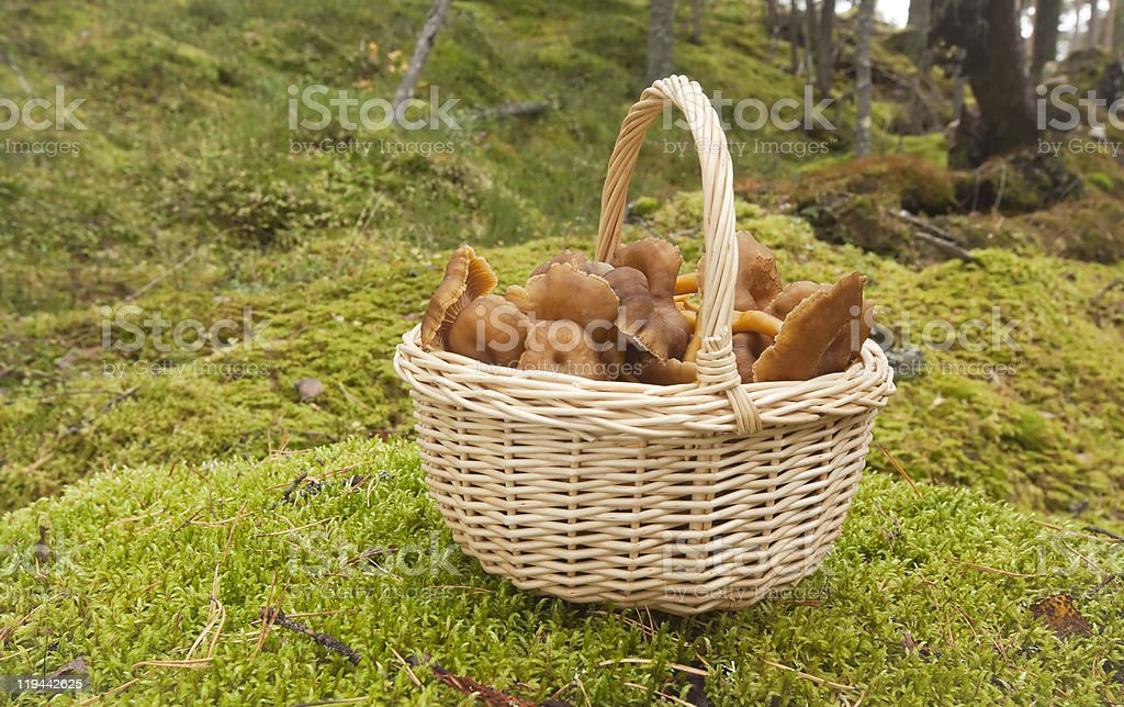 Basket with fresh funnel chanterelles royalty-free stock photo