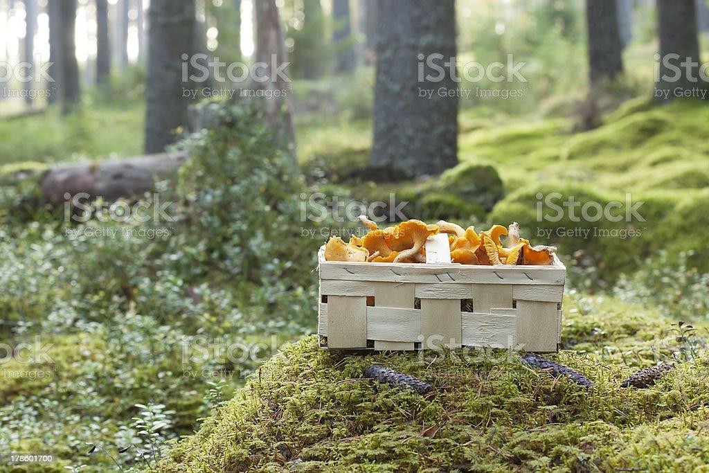 Basket with fresh golden chanterelle (Cantharellus cibarius) stock photo
