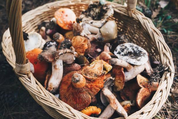 korg med färska champinjoner, ovanifrån - höst plocka svamp bildbanksfoton och bilder