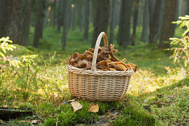 Basket with funnel chanterelle. stock photo