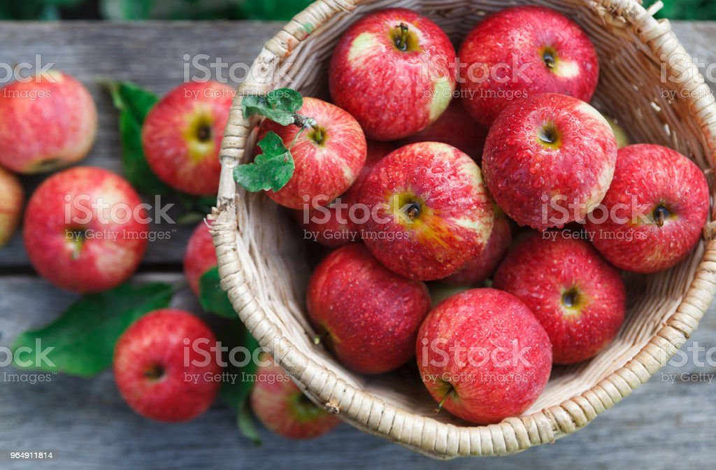 Basket with heap of apple harvest in fall garden royalty-free stock photo