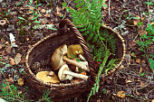 wicker basket with mushrooms and fern leaf  in forest