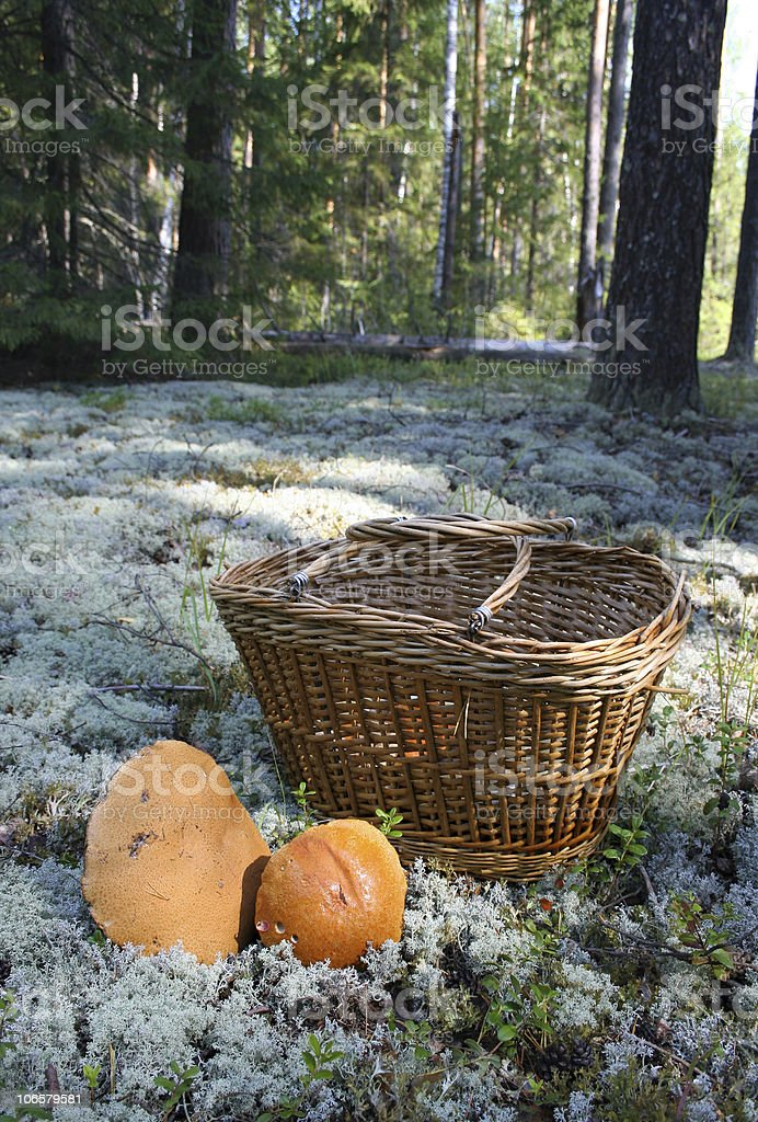 Basket with mushrooms in the forest royalty-free stock photo