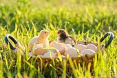 Basket with natural fresh organic eggs with two little newborn baby chickens, grass nature background. Golden hour, country rustic style