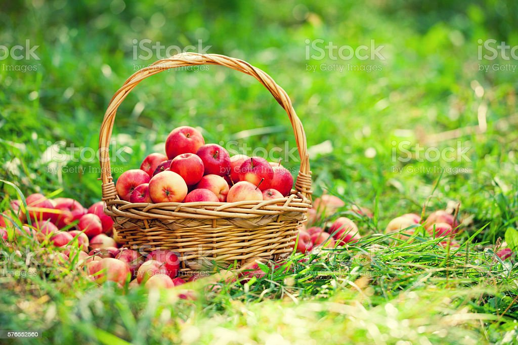 Basket with red apples on the grass in the garden stock photo