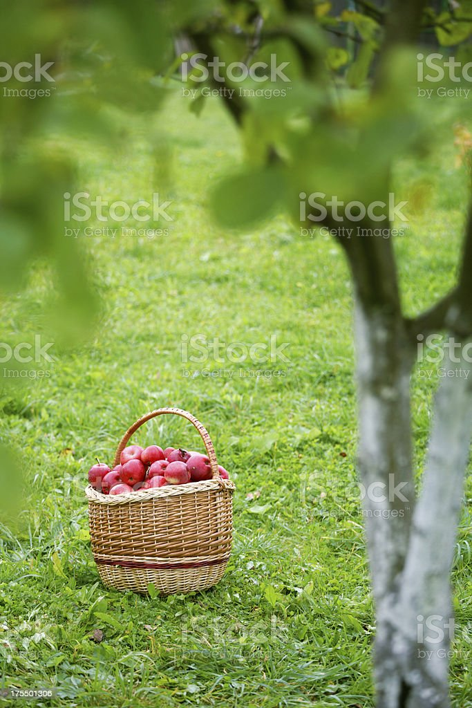 Basket with ripe apples in a garden royalty-free stock photo