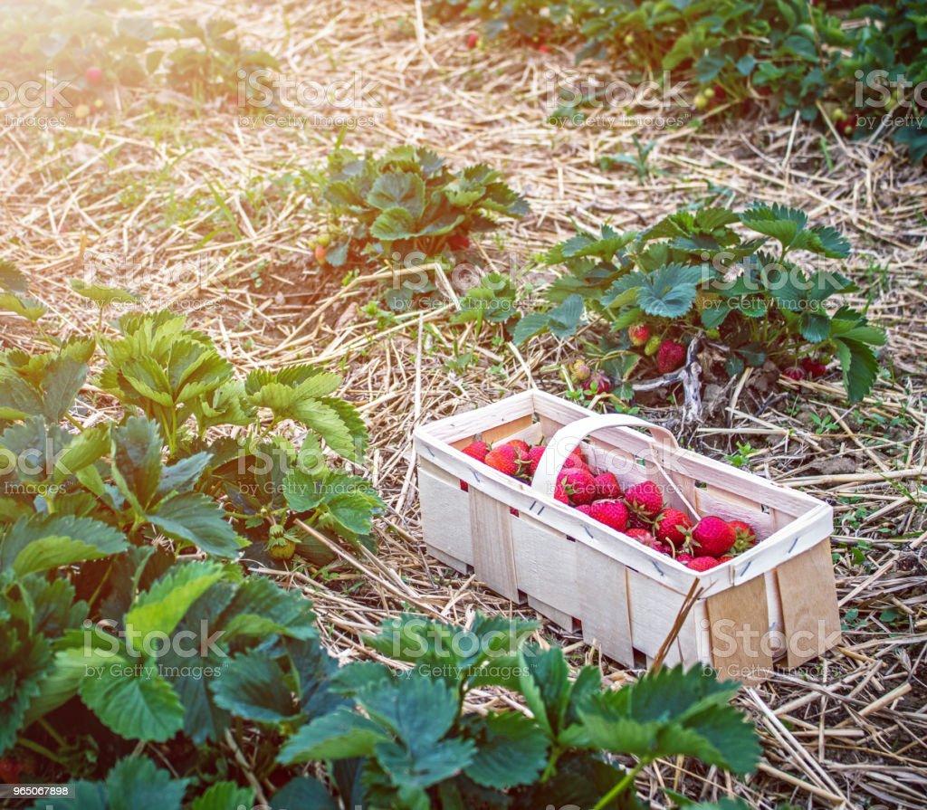 basket with strawberries between beds on strawberry field zbiór zdjęć royalty-free